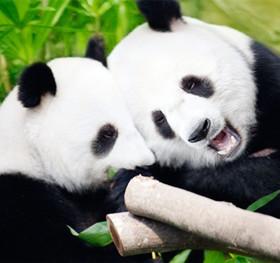 托班科学活动《大熊猫》 了解大熊猫的外形特征