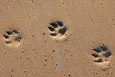 托班语言教案《谁的脚印》 初步了解小动物的脚印